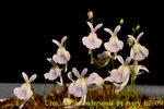 Utricularia sandersonii 3