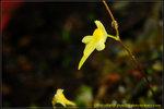 DSC_2418_nEO_IMG Utricularia pusilla