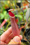 DSC_3101_nEO_IMG Nepenthes albomarginata var. rubra