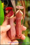 DSC_3841_nEO_IMG Nepenthes albomarginata var. rubra