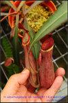 DSC_4381_nEO_IMG N. albomarginata var. rubra ( Rt. ) & a red clone
