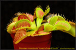 DSC_9554_nEO_IMG Dionaea muscipula avery's Fused Tooth
