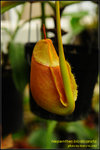 DSC_4444_nEO_IMG Nepenthes bicalcarata