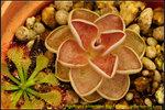DSC_9609_nEO_IMG Pinguicula ehlersiae Big Flower