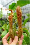 DSC_3108_nEO_IMG Nepenthes boschiana