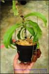 DSC_4394_nEO_IMGRepotting of a Nepenthes rowanae