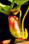Nepenthes_ephippiata_1 ephippiata