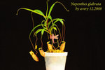 Nepenthes_glabrata_1 glabata