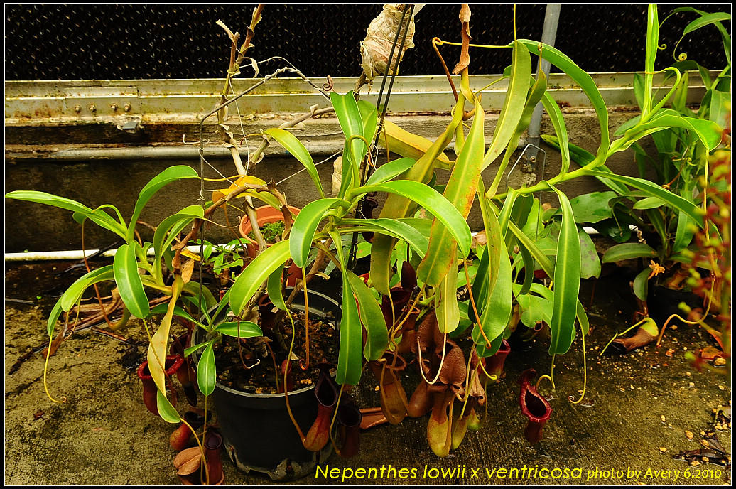 ... lowii x ven... Nepenthes Lowii