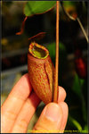 DSC_3530_nEO_IMG Nepenthes peltata