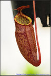 nEO_IMG_DSC_8951 Nepenthes peltata