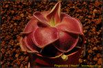 DSC_9723_nEO_IMG Pinguicula 'L'Hautil'