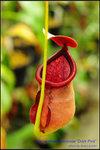 DSC_4386_nEO_IMG Nepenthes rowanae Dark Pink