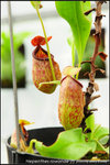 nEO_IMG_DSC_8773 Nepenthes rowanae (f)