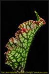 DSC_2465_nEO_IMG Sarr. leucophylla Helmut's Delight