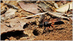 紅足沙泥蜂 001