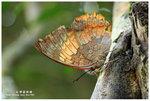 白帶螯蛺蝶 001