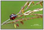 六斑月瓢蟲 001