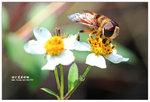 裸芒寬盾蚜蠅 001
