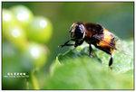 羽毛寬盾蚜蠅 001