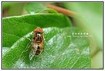 黃跗斑眼蚜蠅 001