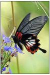 美鳳蝶 有尾型 003