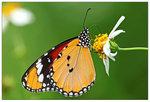 金斑蝶 001