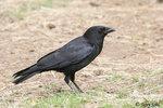 American Crow 美洲烏鴉
