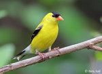 American Goldfinch 北美金翅