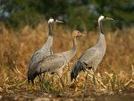 Asiatic Common Crane 亞洲灰鶴