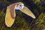 Barn Owl 倉鴞