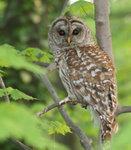 Barred Owl 橫斑林鴞