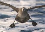 Black Footed Albatross 黑腳信天翁