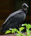 Black Vulture 黑美洲禿鷹