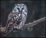 Boreal Owl 北方貓頭鷹