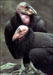 California Condor 加州禿鷹