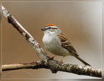 Chipping Sparrow 黃道眉