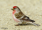 Common Redpoll 朱頂雀