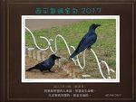 20170402 大嘴烏鴉