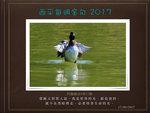 20170917 鳳頭潛鴨