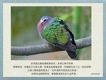 20170225 綠翅金鳩