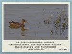 20170303 琵咀鴨