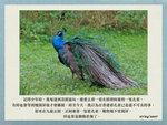 20170427 藍孔雀