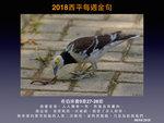 20180408 黑領椋鳥