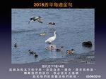 20180603 黑面琵鷺