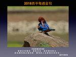20181125 白胸翡翠