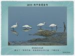 20190203 黑面琵鷺