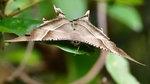 大燕蛾 - 夜間才出沒的蛾居然白天看到DSC_1894_1