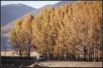 桑堆填已泛黃的樺樹