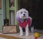 替主人看店的小狗,為了迎接聖誕節,還把耳朵的毛染了紫色